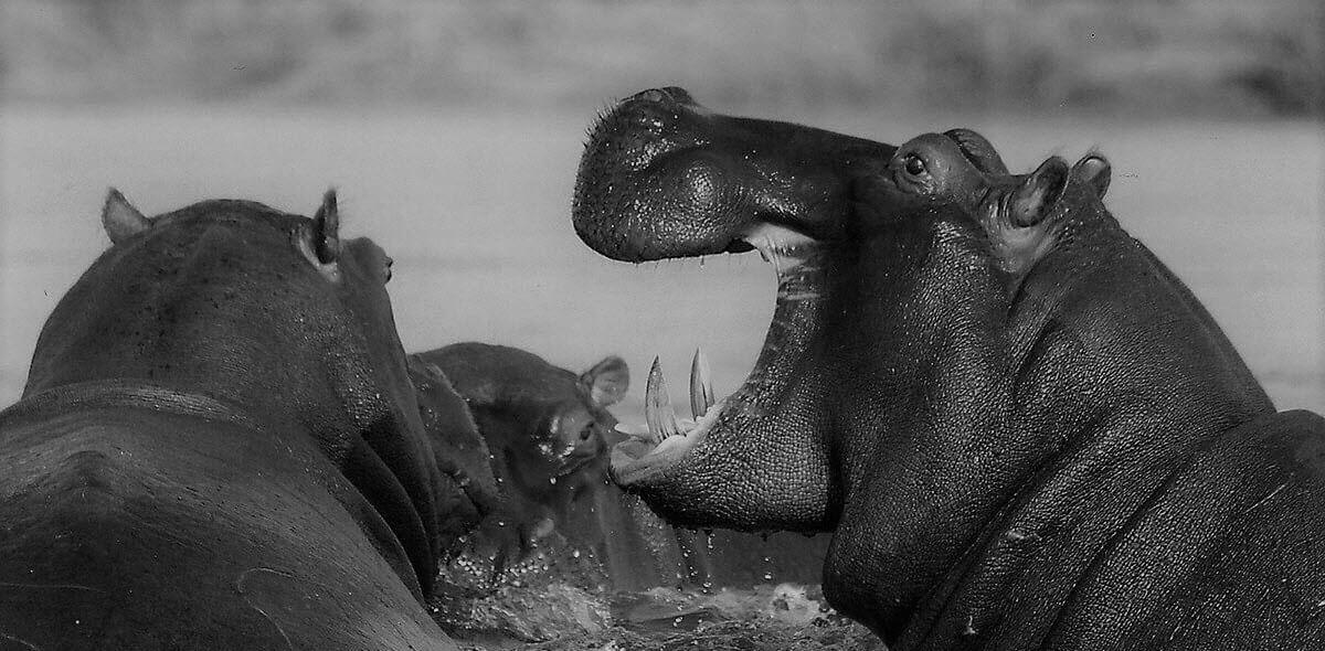 big game hippos roaring